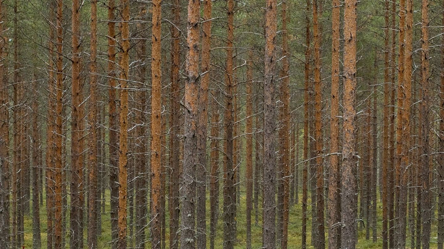 A row of pine trees in the forest.