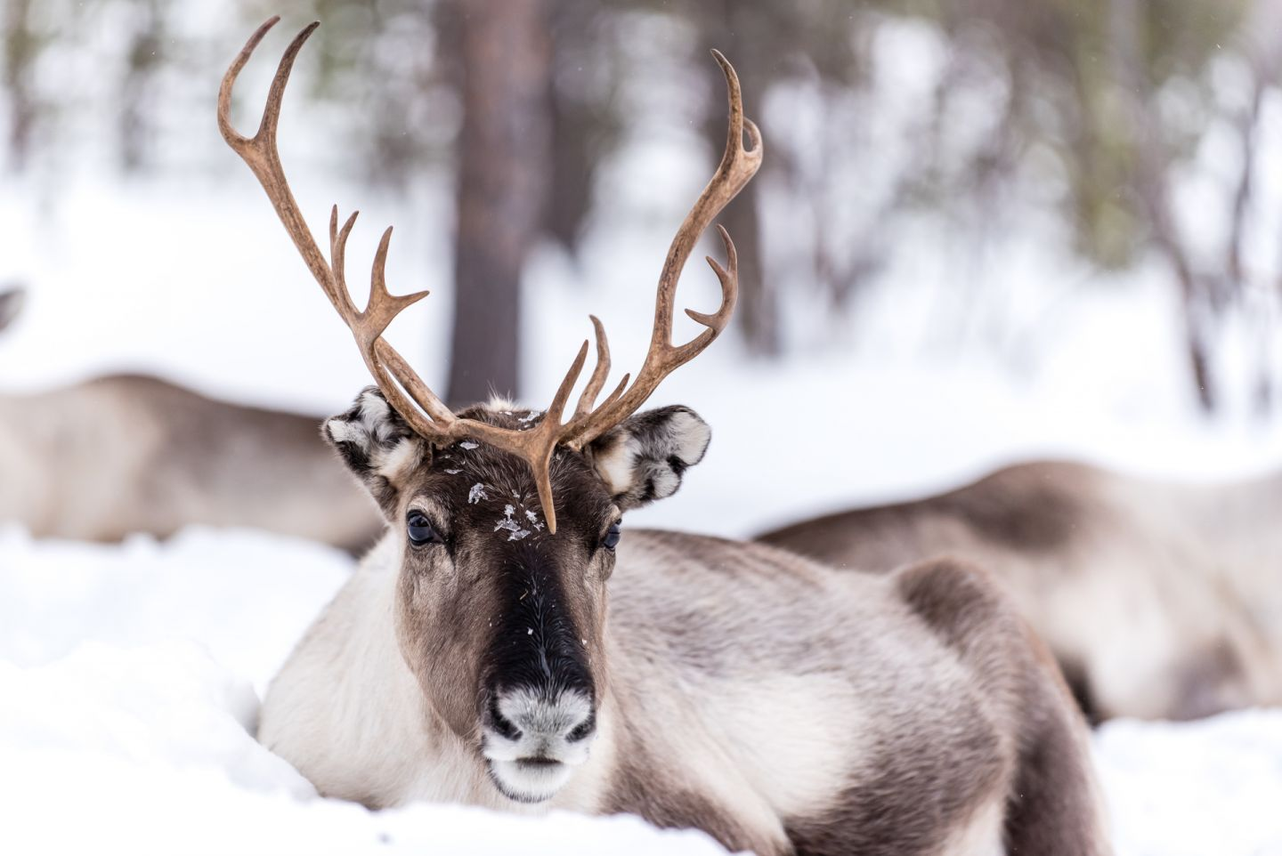 A reindeer enjoys the slow life--you should too! Visit Finnish Lapland in winter.