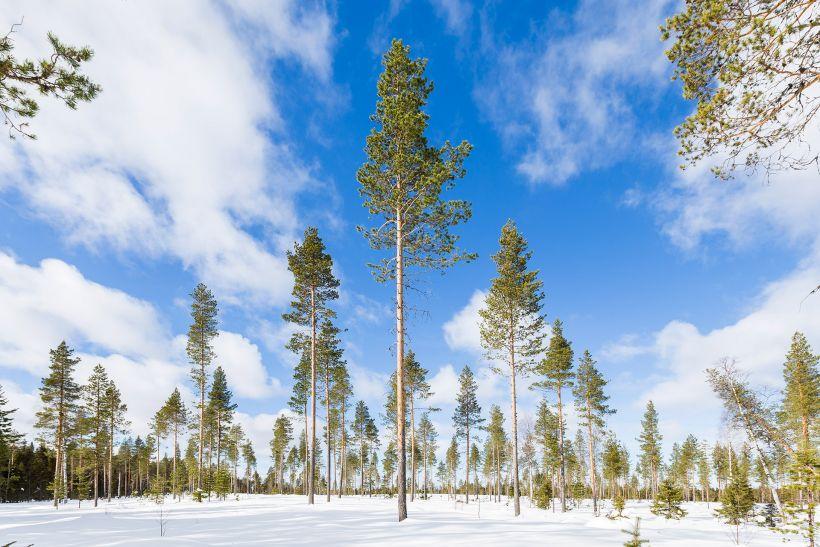 Spring-winter in Vaattunki in Rovaniemi, Lapland, Finland