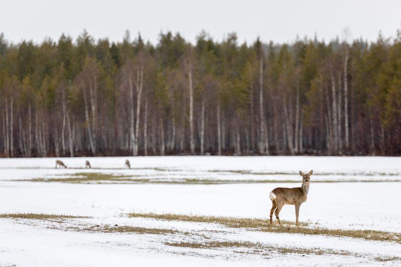 Deer in spring, Rovaniemi, Lapland, Finland