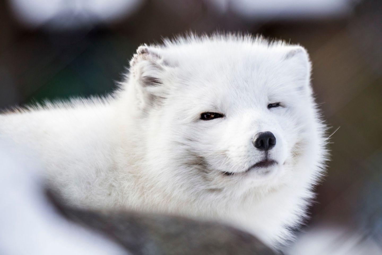 A smiling Arctic Fox in Ranua, Finland