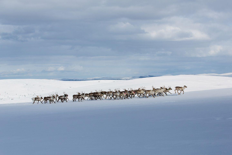 Reindeer in winter in Inari, Lapland, Finland