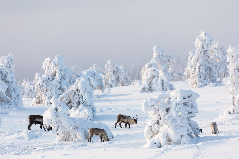 Reindeer in snow in Levi, Kittilä, Lapland, Finland